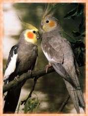carolina_o_cacatua_ninfa-petclic-especies_de_aves5