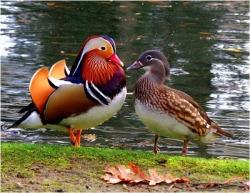 pato-mandarin-colores-hembra-macho