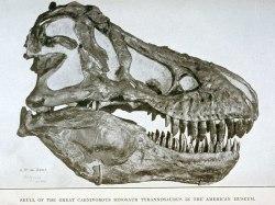 Craneo de Tyrannosaurus descubierto en unas excavaciones del prepardor B. Brown