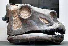 Yale_Peabody_Apatosaurus_skull_sculpt