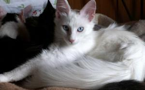 higiene-cuidado-gatos-angora-turco