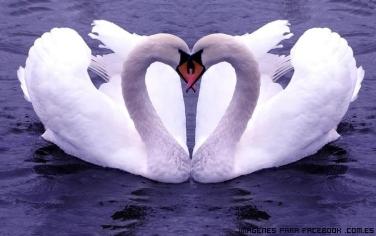 cisnes-enamorados